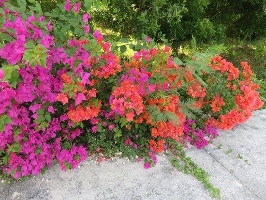Iberostar Bavaro Suites: bougainvilliers greffés:magnifiques jardins...