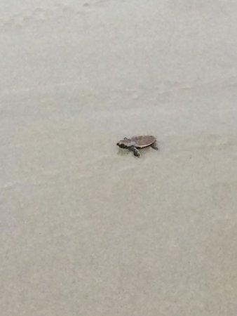 Club Med Bintan Island: bébé tortue (programme de sauvegarde des tortues)