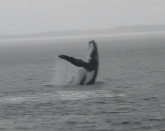Freedom Whale Watch: You have to be lucky to see this.