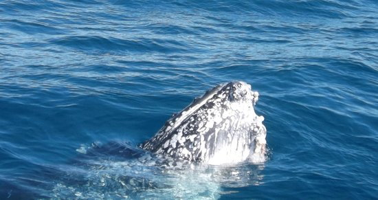 Freedom Whale Watch: Sometimes they put their head up to look at you.