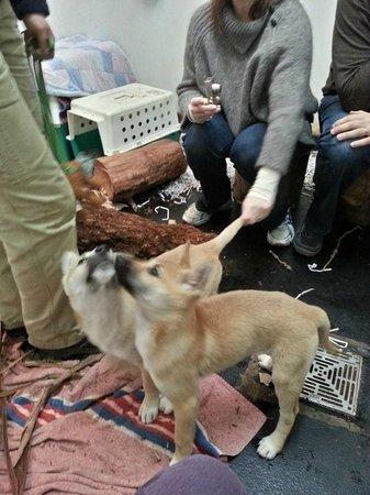 Healesville Sanctuary: Dingo Puppies!