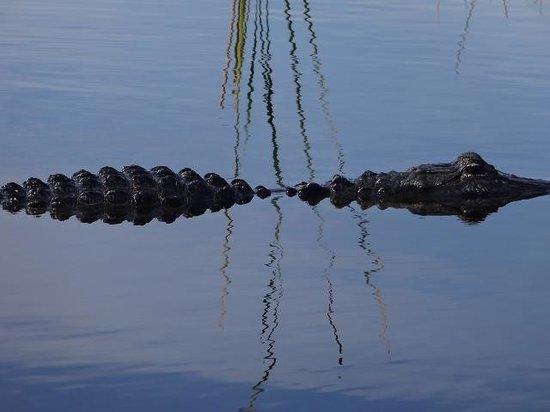 Sawgrass Recreation Park: Alligator