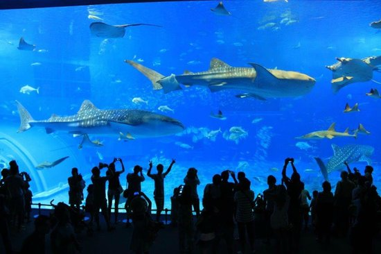 カメ - Picture of Okinawa Churaumi Aquarium, Motobu-cho - TripAdvisor