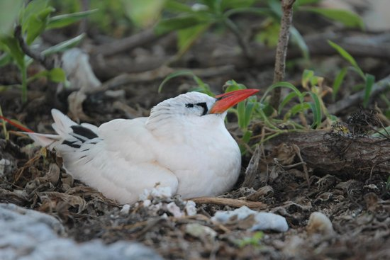 Lady Elliot Island Eco Resort: Nesting Area for Red Tailed Tropic Birds