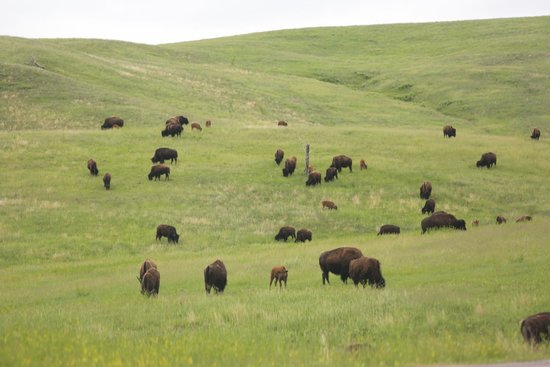 State Game Lodge: Inhabitants of Custer State Park