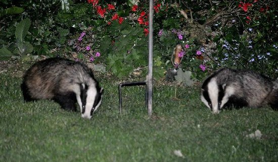Old Cartlett House Bed and Breakfast: Badgers regularly visit the garden at night