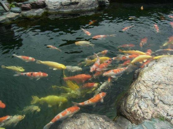 Resto Park Rinrin : 庭園の池の見事な鯉