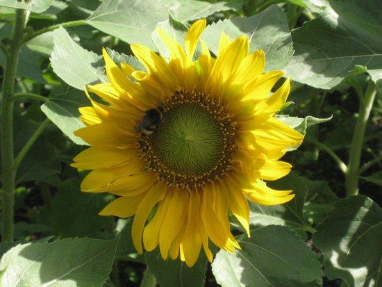Bio-Hotel & Residence Kaufmann: Sonnenblume mit Bienen