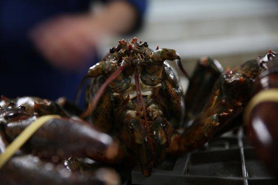 Stanley Lobster : Frische Lobster