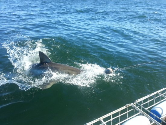 Gansbaai, South Africa: White Shark