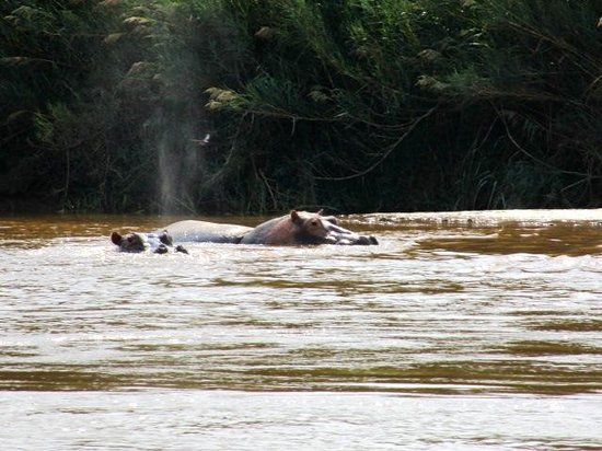 Rusizi National Park : Plenty of hippos to be seen here.
