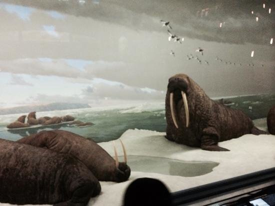 American Museum of Natural History : walrus'