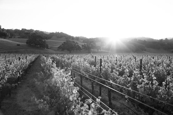 Robert Young Estate Winery: Vineyards in the morning sun.