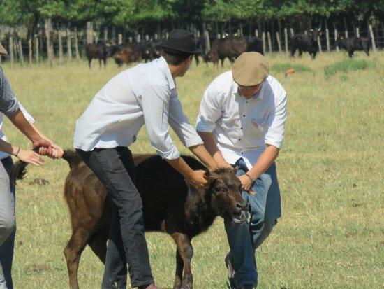 Camargue autrement safari 4x4 : Gérôme à droite essai de bloquer le jeune taureau