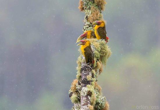 Hotel Do Ype: Saffron Toucanet (Pteroglossus bailloni)