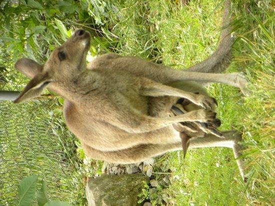 Kentucky Down Under Adventure Zoo: walkabout kangaroo with joey