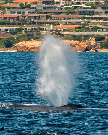 Newport Landing Whale Watching: Blue whale off the southern Orange County Coast