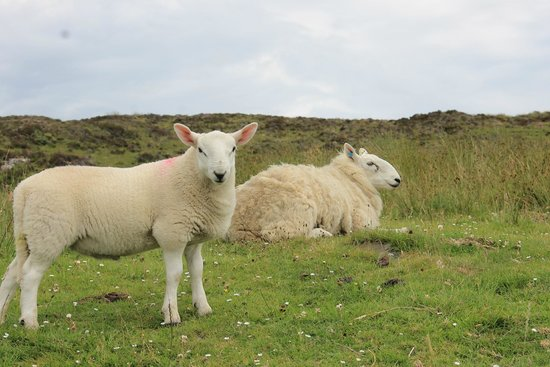 Highland Experience Inverness - Day Tours: scottish sheep