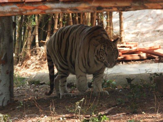 Arignar Anna Zoological Park : White Tiger1