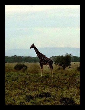 Sarova Lion Hill Game Lodge: Lone Giraffe