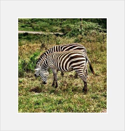 Sarova Lion Hill Game Lodge: Some Zebra on tour