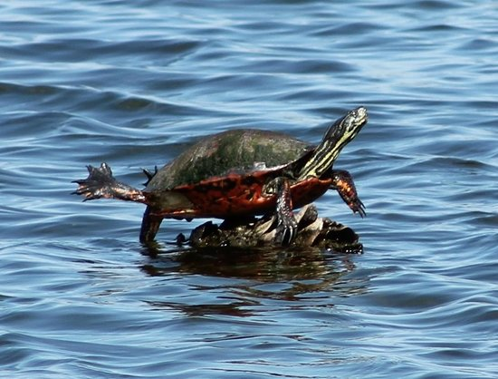 Ritch Grissom Memorial Wetlands: Turtle