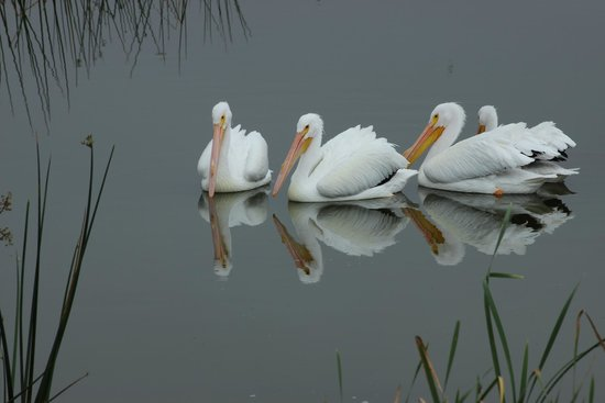 Ritch Grissom Memorial Wetlands: White Pelicans
