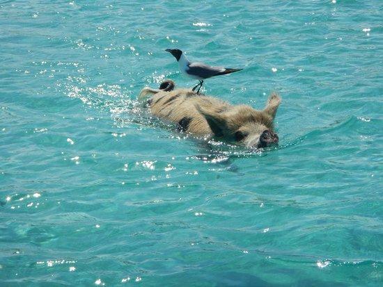 Fowl Cay Resort : Swimming Pig (and Friend) at Big Major