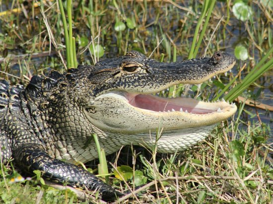 Ritch Grissom Memorial Wetlands: Alligator