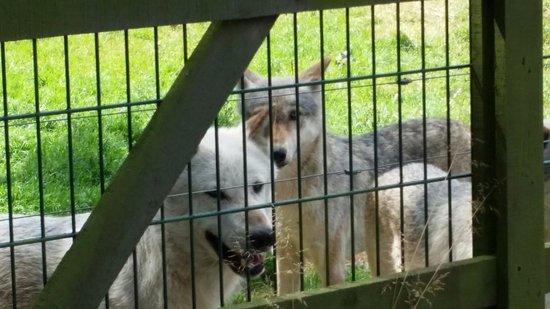 The Scottish Deer Centre: Grey Wolves.