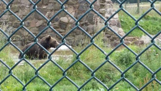 The Scottish Deer Centre: European Brown Bear.