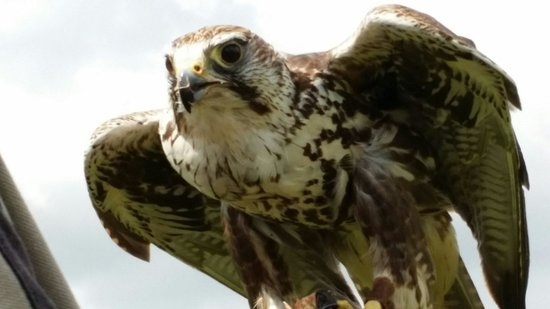 The Scottish Deer Centre: One of the Falcons at the bird of prey display.