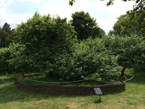 Woolsthorpe Manor: The famous apple tree under which Newton was sitting when he had his big idea.