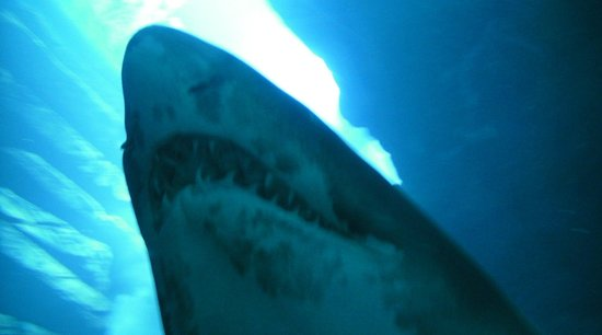 Dubai Aquarium & Underwater Zoo: Vue verticale sous le tunnel de verre traversant l'aquarium