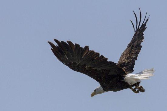 Wild Whales Vancouver: Bald eagle