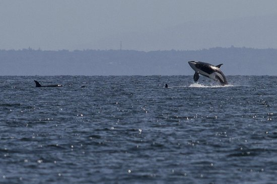 Wild Whales Vancouver: Breach!