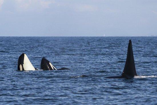 Wild Whales Vancouver: Double spy hop