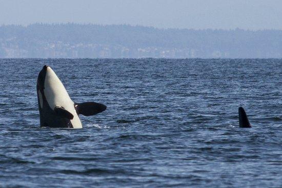 Wild Whales Vancouver: Spy hop