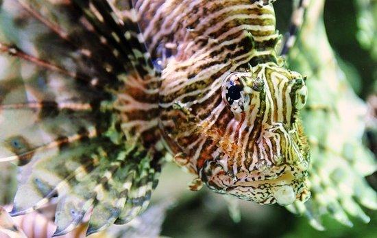 Georgia Aquarium: Lion Fish