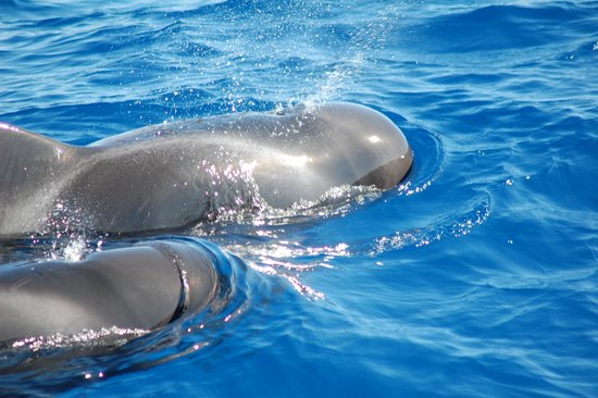 Tenerife Direct - The Royal Delfin - Day Tours: Baleines pilote