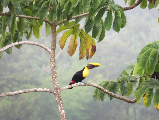 Casa Botania Bed & Breakfast: Black Mandibled Toucan in tree across from dining area