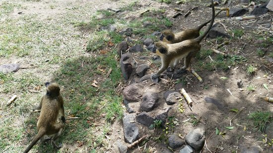 St. Kitts Captain Sunshine Tours: Monkeys