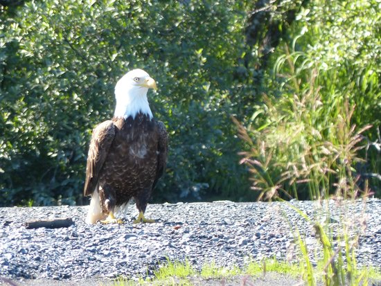 Kenai Fjords Glacier Lodge: Our national bird