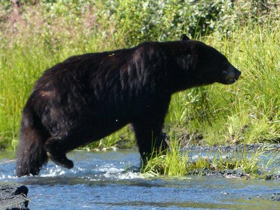 Kenai Fjords Glacier Lodge: Black Bear