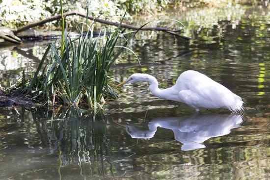 St. Louis Zoo: Egret stalking fish