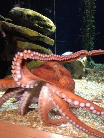 Georgia Aquarium: Entertaining Octopus
