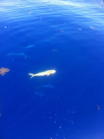Looe Key Reef Adventures: Mahi school with one on the hook