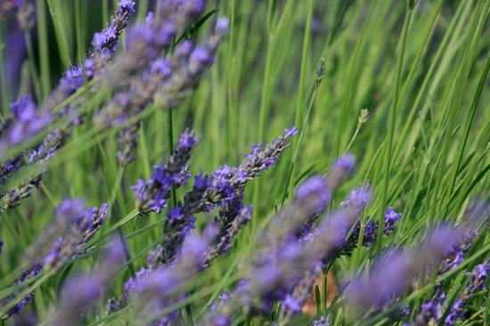 Discover Provence-Day Tours: Lavender Fields