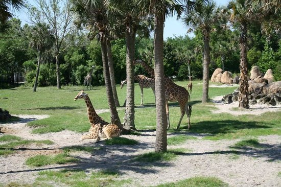 The Giraffe Exhibit Was Great Picture Of Jacksonville Zoo Gardens Jacksonville Tripadvisor