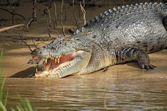 Crocodile Express Daintree River Cruises : Never mind the smile, watch the teeth